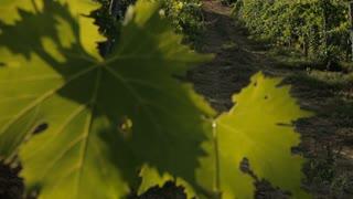 WS TU R/F Vineyard / Tuscany, Italy