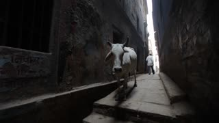 WS White cows standing in alley / Varanasi, India