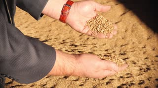 Adult Man Hands Holding Wheat Grain in Warm Light