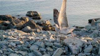 Big Seagull Taking Flight From Dirty Rocky Shoreline