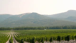 Grape Wineland Countryside Landscape Background of Hills With Mountain Backdrop