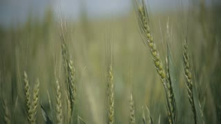 Green wheat field in the wind background