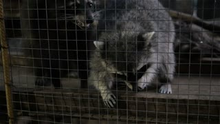 Raccoon Behind Bars In Zoo