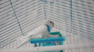 The male budgerigar playing with a bell on the cage