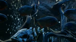 Piranha Swims in the Aquarium