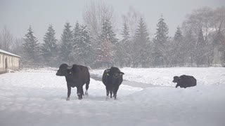 slow walk buffalo winter