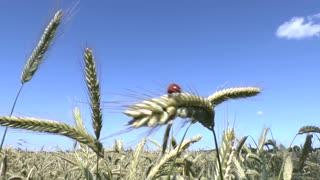 Ladybird and wheat