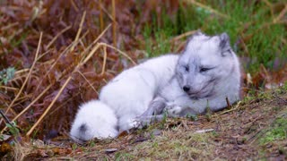 Arctic fox lies and rests at forest floor in the late fall