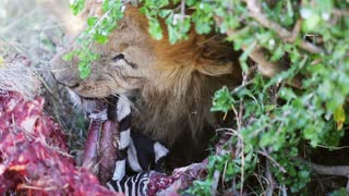 Big male lion eats zebra in Africa