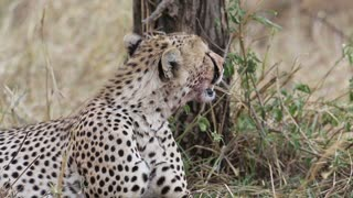Cheetah rests after kill in Serengeti