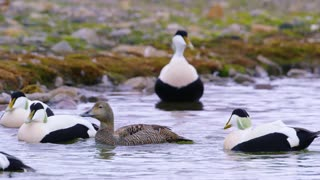 Common eider mating at the arctic sea