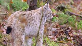 Cute european lynx cub cat in the woods