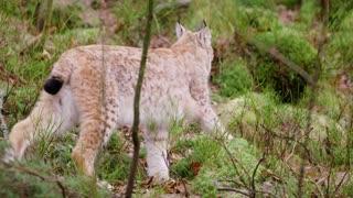 Cute european lynx cub walks in the woods