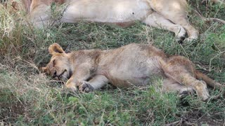 Cute lion cub sleeping after meal in Africa