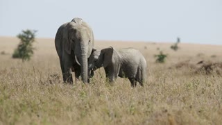Elephant baby and mother eating in Serengeti