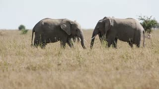 Elephants eating in Serengeti