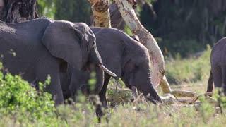 Elephants eats grass in Serengeti
