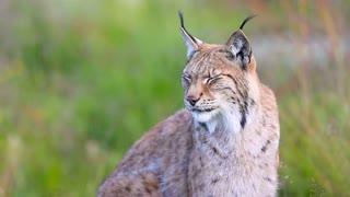 Female lynx sitting in grass meadow