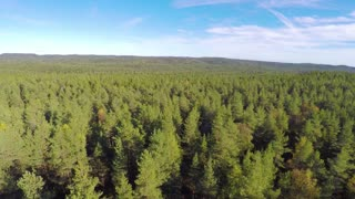 Flying above large spruce tree forest
