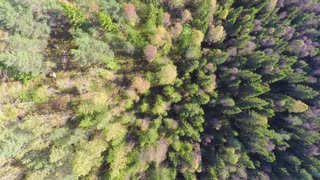 Flying high above large spruce tree forest with camera panning