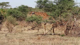Giraffe eats leafs of tree in Africa