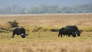 Large african buffalo eat grass