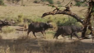 Large buffalo running in Serengeti
