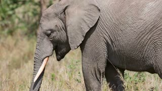 Large elephant eat grass and branches in Africa