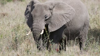 Large elephant eating grass in Serengeti