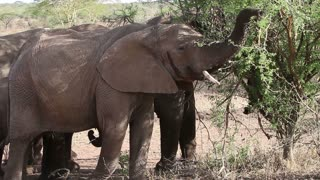 Large elephants eat leafs and branches in Africa