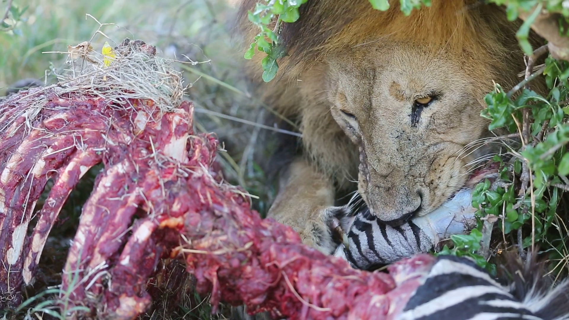 what do lion eat for food