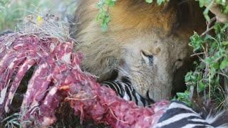 Large male lion eating zebra in Serengeti