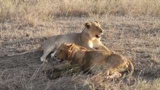 Lion pride resting after meal in Serengeti Africa