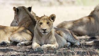 Lion pride resting under tree in Serengeti Africa