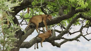 Lion pride sleeping in a tree