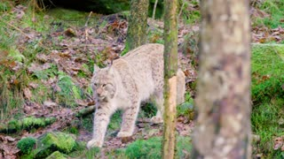 One european lynx cub walks in the woods