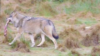 One wolf running with a meat bone in the mouth