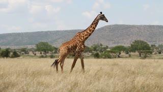 Tall giraffe walking and eats grass in Africa