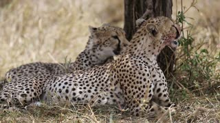 Two cheetahs looks after enemies after a large meal