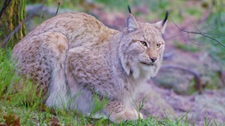 Two european lynx cats rests in the forest