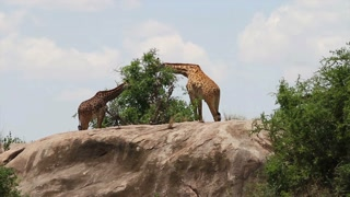 Two large giraffes eats leafs of tree in Africa