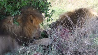 Two large male lions eating zebra in Africa