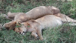 Two lions sleeping after meal in Africa