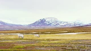 Two reindeers eats grass in the beautiful landscape of Svalbard