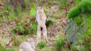 Two young and playfull lynx cat cubs running in the forest