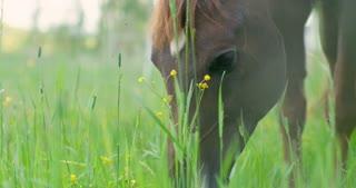 Arabian horse eating grass in a green meadow