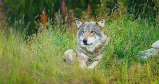 Beautiful adult male grey wolf rests in the grass