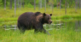 Big adult brown bear walking and running free in the forest