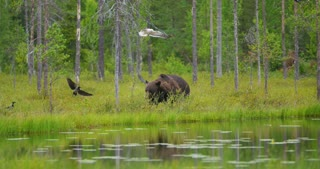 Big adult brown bear walking free in beautiful nature