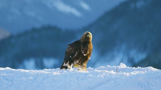 Brutal fight between two eagles over food in the mountains at winter